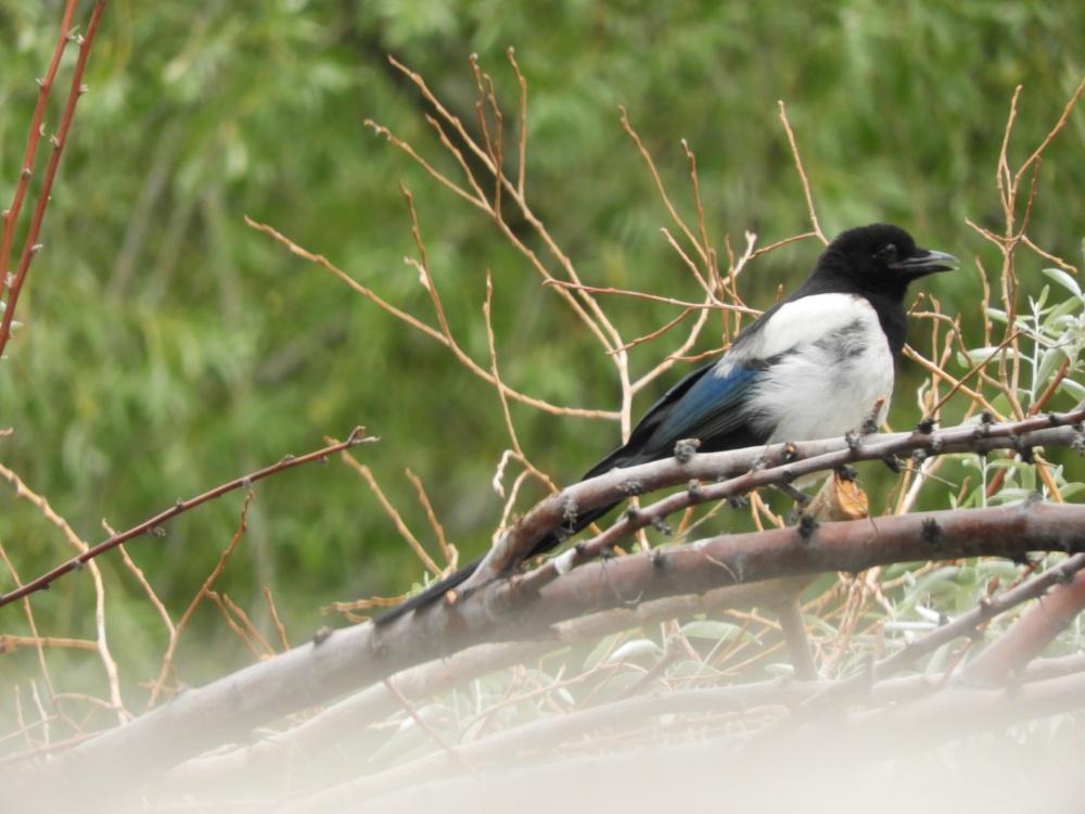 black-billed-magpie