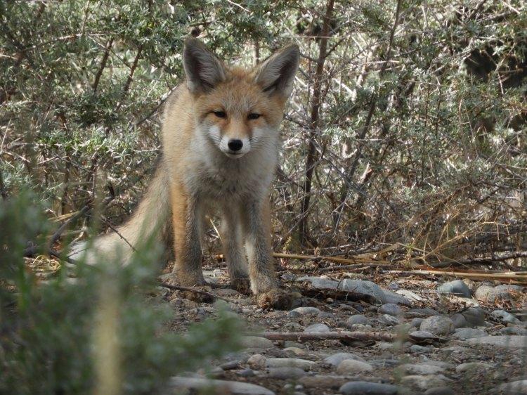 himalyan-red-fox-3