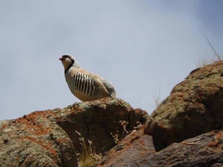 chukar-partridge-hemis