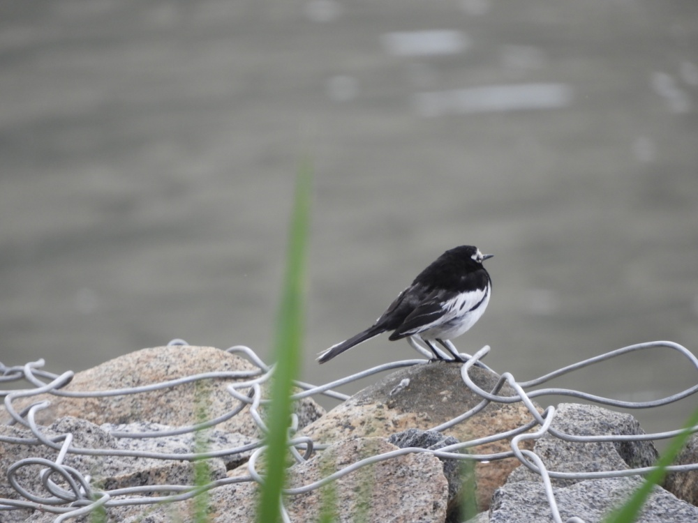 masked-wagtail-2